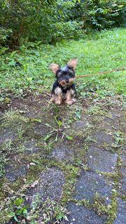 Yorkshire Terrier Hündin 4 Monate