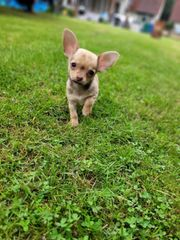 Typ volle Chihuahua Babys