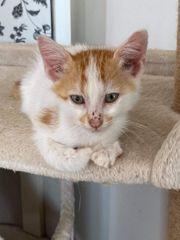 Katzenbub Nugget