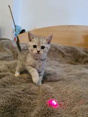 Scottish Straight Schottische Kitten Katzenbaby