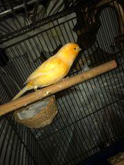 2 Kanarienvögel Käfig