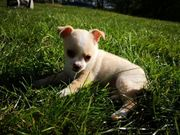 2 Chihuahua abzugeben