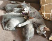 Fantastische Kitten Russisch Blau Stammbaum