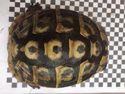 Gebraucht, Zuchtaufgabe, eierlegende u. junge Griechische w. u. m. u. Herci u THH Landschildkröten gebraucht kaufen  Ludwigshafen