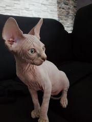 Verkaufen Sphynx kanadische Kitten
