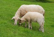 Merino Schaf mit Lamm