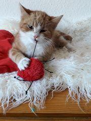 Wunderschöne sibirische mix katzenbaby abzugeben