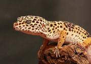 Leoparden gecko 4 stk Weibchen