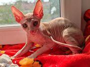 Sphynx Kätzchen zu verkaufen