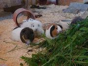 Lunkarya Glatthaar und Rosettenmeerschweinchen abzugeben