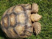 Verkaufe Spornschildkröte