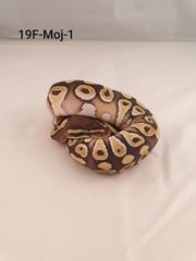 Königspython Python Regius Mojave 0