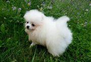 Boo Pomeranian Zwergspitz Welpen