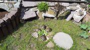 2 Pärchen Griechische Landschildkröten 7