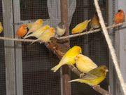 40 Kanarienvögel von 2019