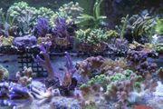 Suche Korallen Korallenableger und anemonen