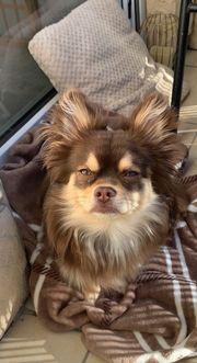 Chihuahua deckrüde Schoko ran