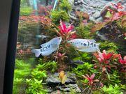 Fadenfische Blau