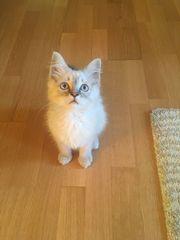 Sibirische Waldkatze - 12 Wochen alt