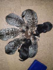 Bengal Mix Kätzchen