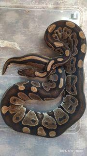 Python Regius adult