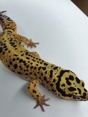 Leopardgecko Firebold 1 0