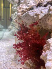 Rotalge Meerwasser Alge Korallen