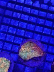 Korallen Sps Lps Euphyllias