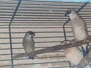 Zeresamadinen Hahn Prachtfinken Exoten