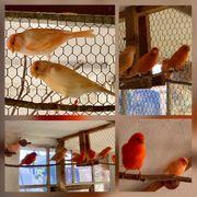 Wunderschöne Kanarienvögel Kanarienvogel Rot oder