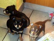 anhängliche liebevolle Chihuahua-Welpen mit Stammbaum