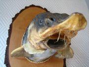 Stör Fischkopf Tierpräparat Angler