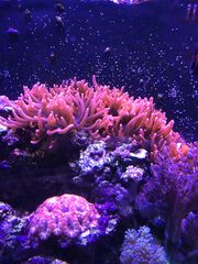 BTA anemone