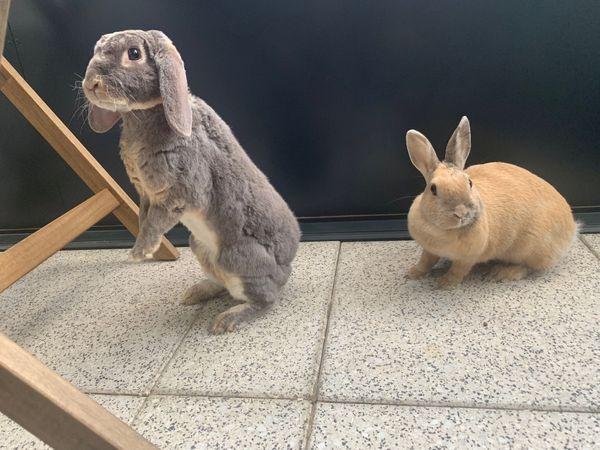 64b97819a9 Zwei süße Kaninchen zum Verkauf mit allen Geräten und Zubehörteilen ...