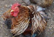 Hühner - Zwerg Cochin potenter Hahn