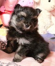 Pomeranian zwergspitz darf bald ausziehen