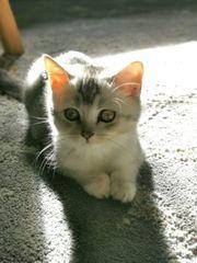 Reinrassiges BKH Kätzchen