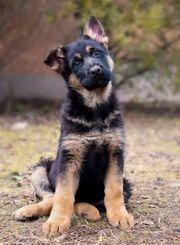 Deutsche Schäferhunde