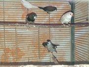 Japanische Mövchen Prachtfinken