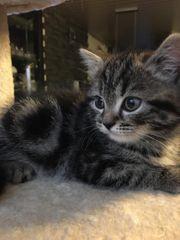 BKH Whiskas Kätzchen sucht liebevolles