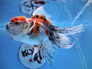 KOI 13 Anz 91 2020 Goldfisch -
