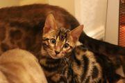 KUSCHELIGE KITTEN Bengal Katzen mit