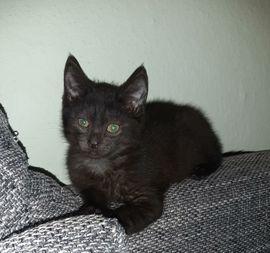 Baby Kater Kitten Hans gechipt sucht sein Zuhause