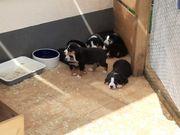 Süsse Appenzeller Sennenhund Welpen