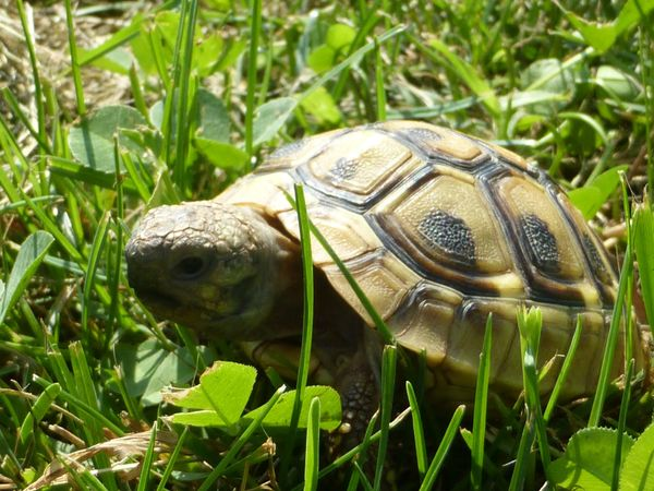 Schildkröten Baby Griechische Landschildkröte Testudo
