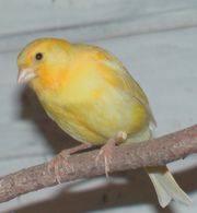 Kanarienhahn 2018 Kanarien Vogel in