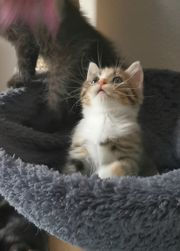 BLH mix baby Katze Babykatzen
