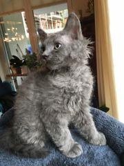 Seltene Sphinx- das graue Kätzchen