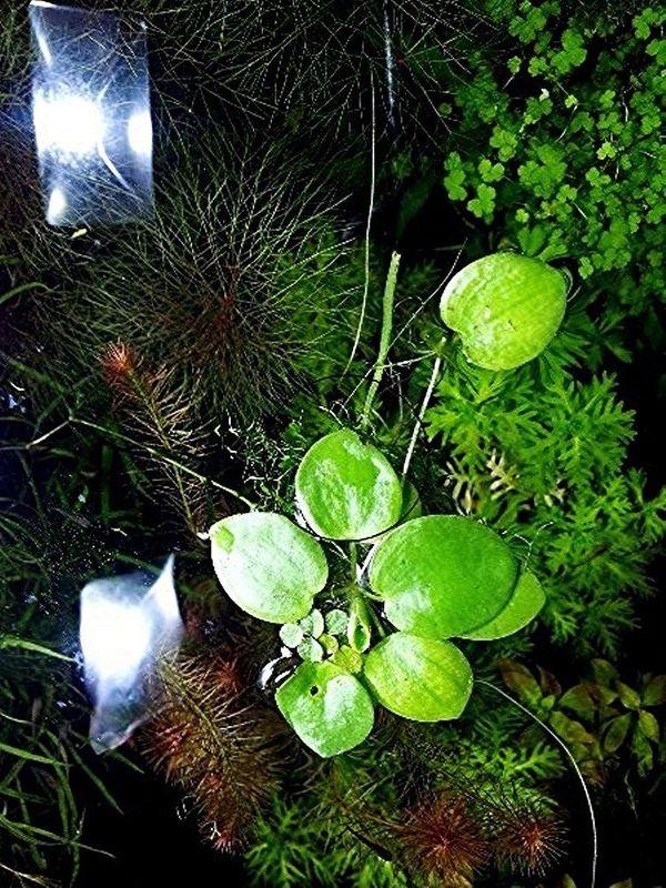 Froschbiss, Aquariumpflanzen, Versand