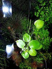 Froschbiss Aquariumpflanzen Versand